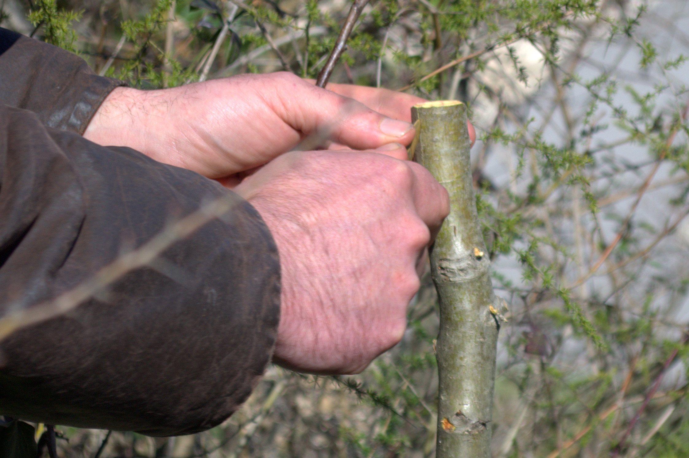 apprendre greffer un arbre fruitier c 39 est facile avec paysarbre. Black Bedroom Furniture Sets. Home Design Ideas